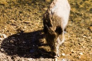Wildschwein im Flehbach (Brück)